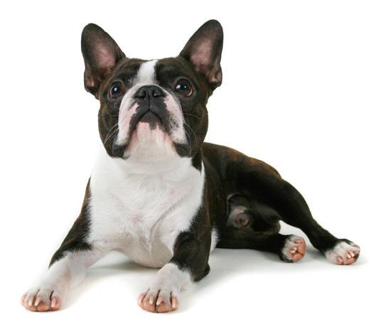 Los bulldog franceses sufren problemas de piel como la dermatitis atópica.