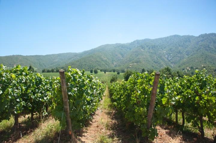 Carménère-vineyard