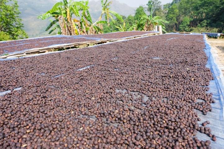 Coffee-processing-dry-3