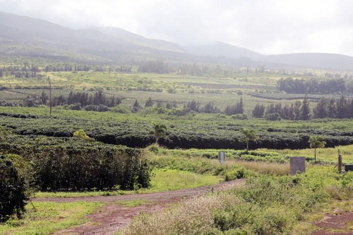 Kona-Plantation