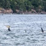San Juan Island Orca Whales