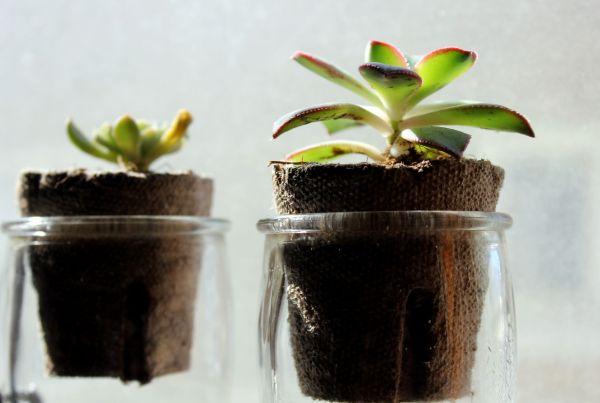 succulent plants in vintage glass pots
