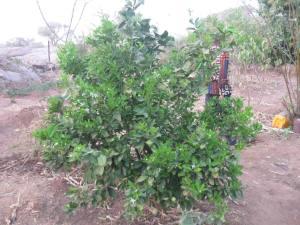 Visite au jardin arbres fruitiers de kansongo fÇvrier 2014
