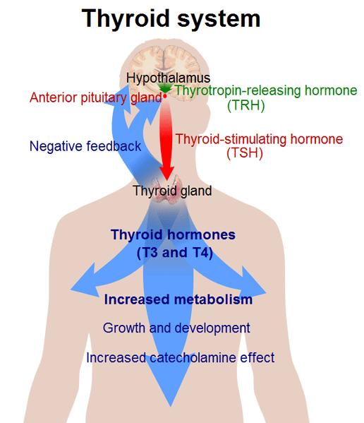 Human-Thyroid-system