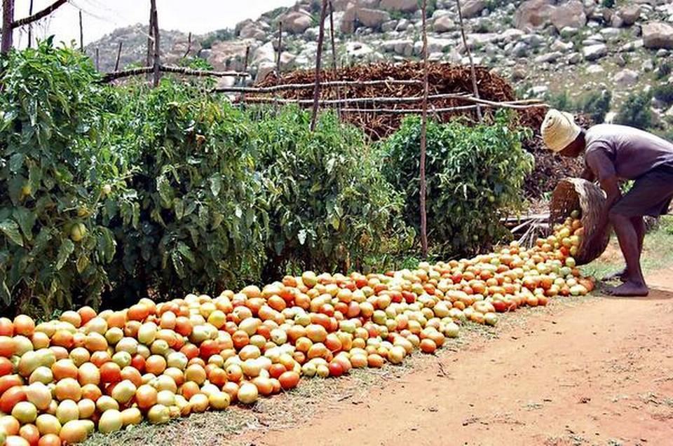 Tomato farming in India