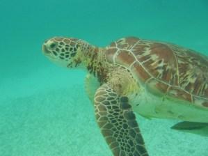Akuma Bay Turtle in Mexico