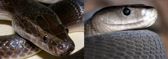House snake compared to a Black Mamba.