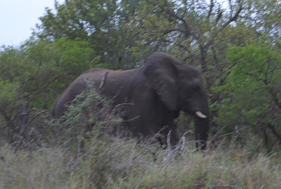 African Elephant at Thula Thula.