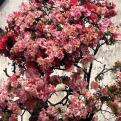 Flowers on a Bonsai