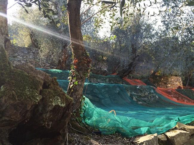 Olives net