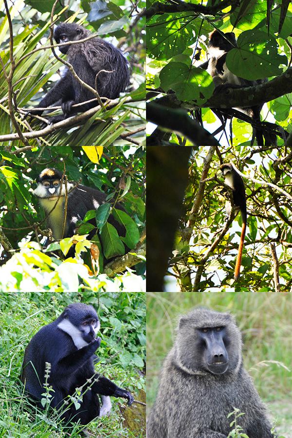 monkeys-of-bigodi