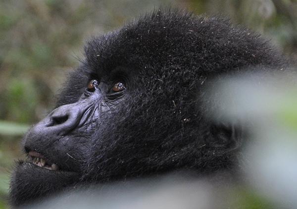 toddler-gorilla