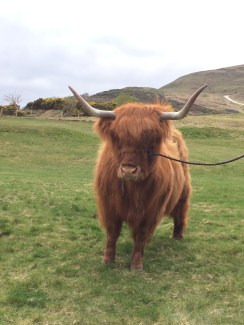 Scottish Heeland Coo