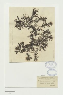 Sargassum sinclairii Hook.f. & Harv., collected 03 Oct 1937, Bay of Islands, Onewhero Bay, New Zealand. CC BY-NC-ND licence. Te Papa (A020476)