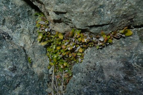 Notogrammitis crassior (previously known as Grammitis poeppigiana) grows in alpine and other cold habitats. Tucked into a crevice is a usual place to find it. Black Birch Range. Photo Leon Perrie. © Te Papa.