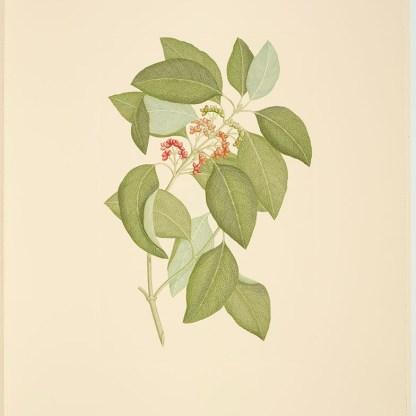 Coprosma australis (A. Richard) Robinson; Plate 469
