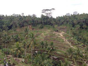 バリ島一番人気の観光スポット。世界遺産にも登録されているライステラス(棚田)。丘陵地帯でたくさんのお米が作れるよう、古代からバリで行われている水耕の手法です。