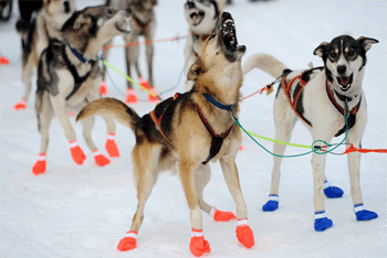 Dogs in Boots.png