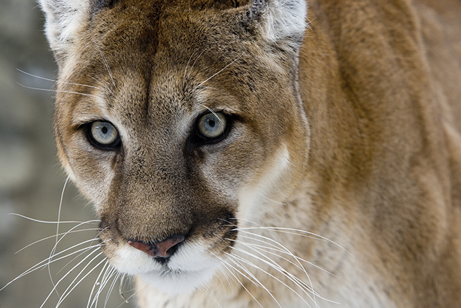 Image result for images of cougar