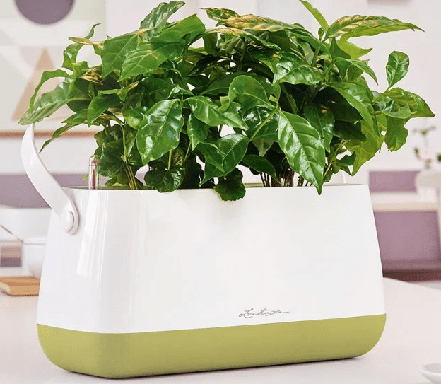 A large plant in seen sitting in a white & green Lechuza self-watering planter
