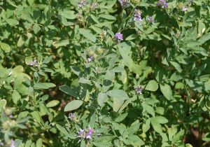 Alfalfa for nutrition