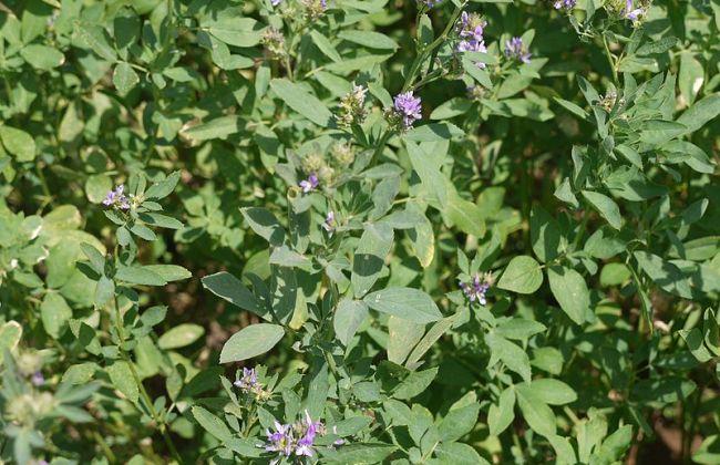 Alfalfa for nutrition