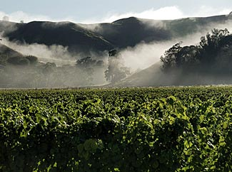 Morning mists rise above the vines in Gisborne.