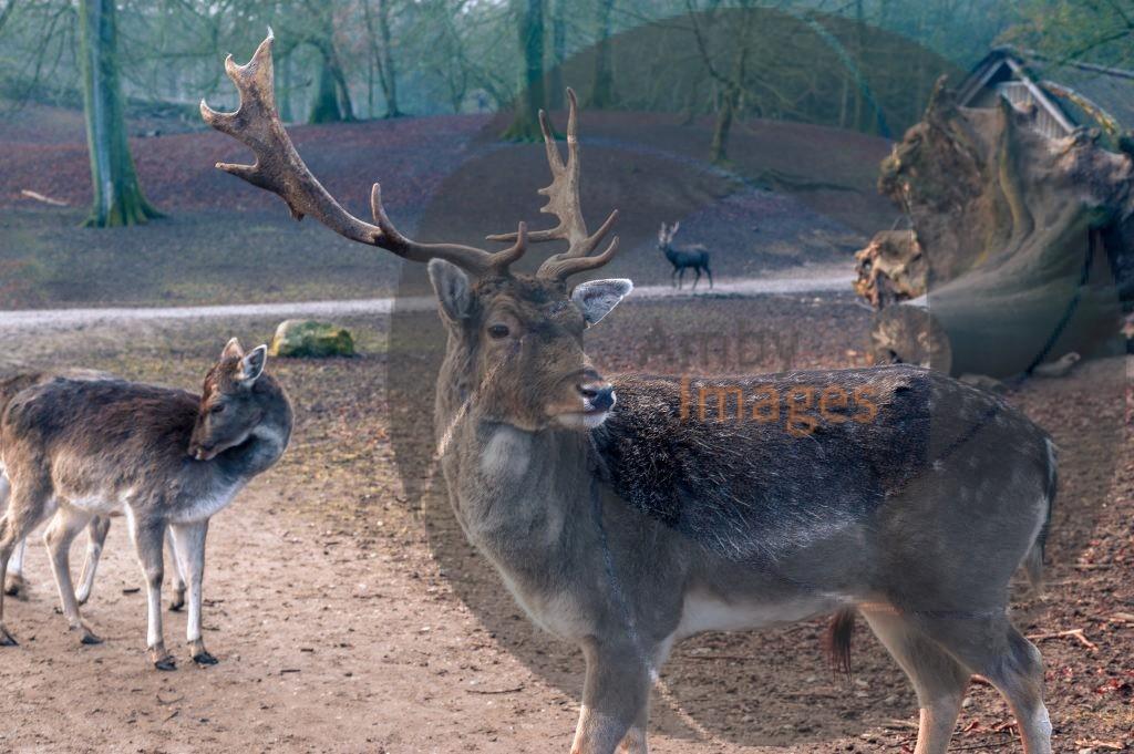 male sika deer