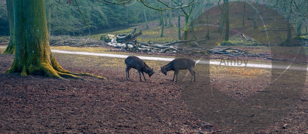 male deers fighting