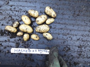 Potato trials - halved tuber results