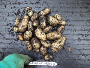 Lasagne planting results from potato trials