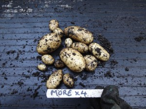 More tuber results from potato trials