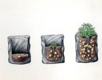 Potato trials - the traditional method