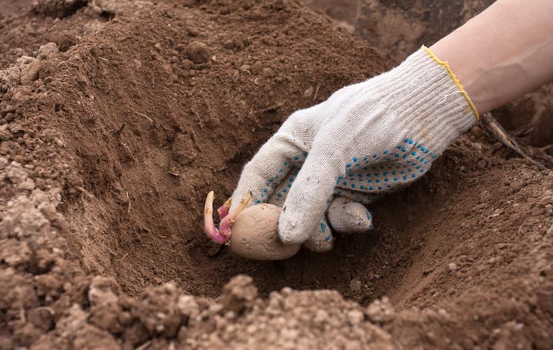 Hand planting potato tubers