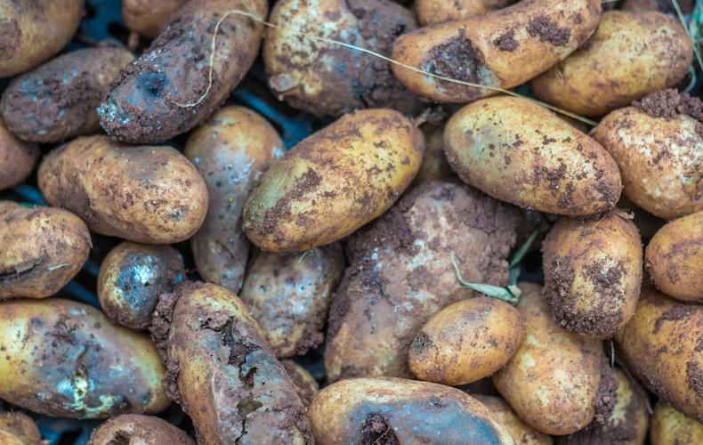Closeup of late potato blight