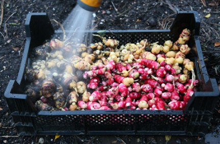 Washing off the oca tubers before storing