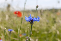 Gardening news - grass-free lawn, coronation meadows