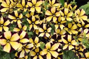 Petunias - customer trial panel update