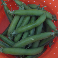 Pea Alexandra - huge plants, bumper crops!