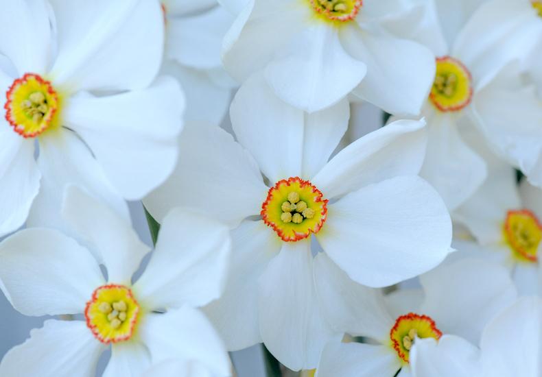 Narcissus 'Sagana' from Thompson & Morgan