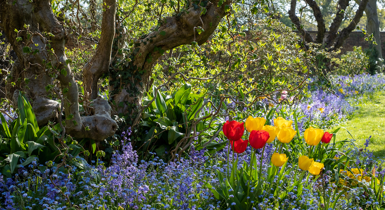 Swathes of bluebells, tulips and daffodils in a garden