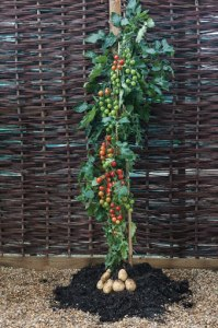 World exclusive TomTato™ - harvest potatoes AND tomatoes from the same plant! Only from Thompson & Morgan