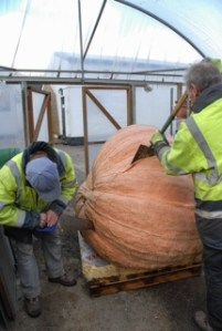 Giant pumpkin competition winner announced