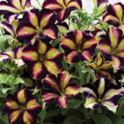 Top 10 summer bedding plants