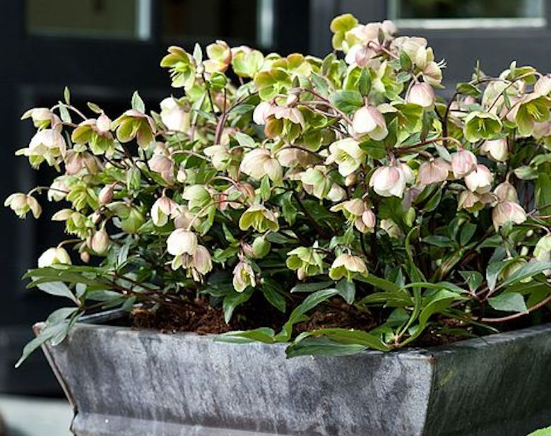 Hellebore 'Winterbells' from T&M