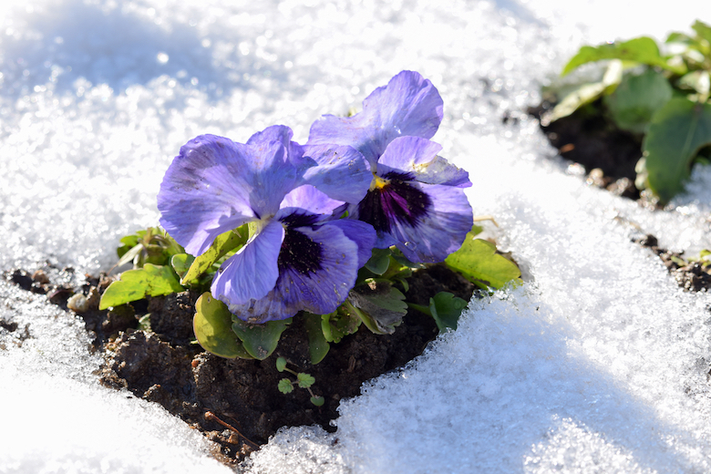 Purple pansy flowering in the winter