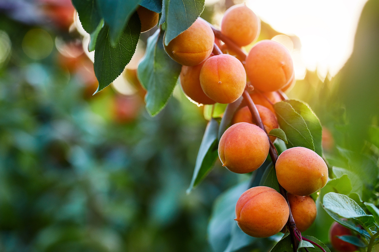 Apricots growing on a tree