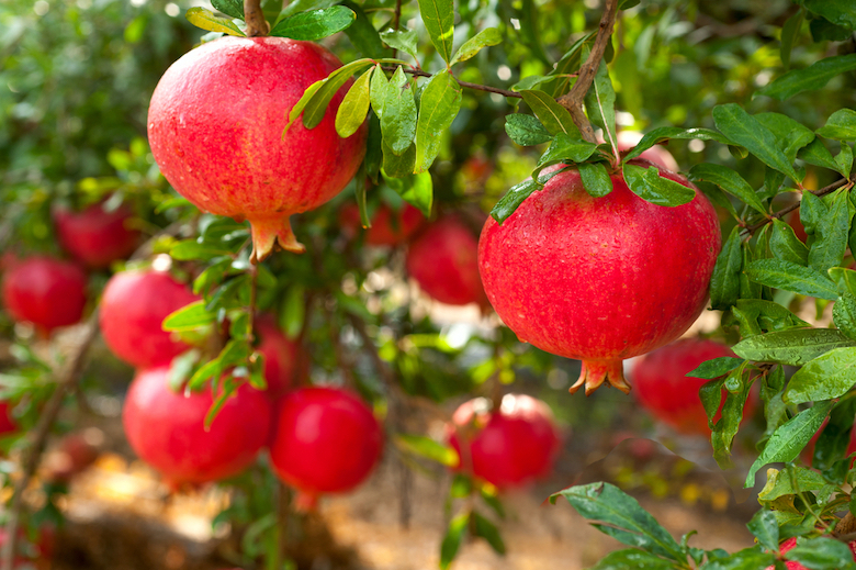 Red pomegranates growing on a tree