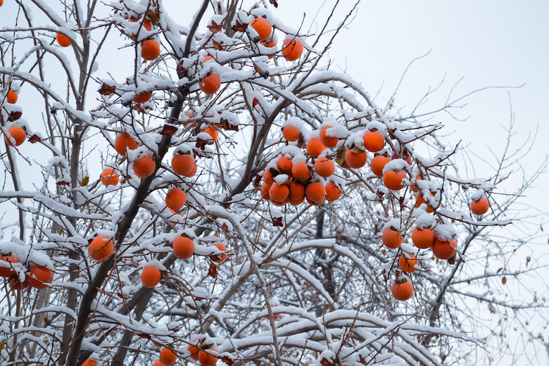 Sharon fruit covered in snow