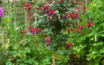 Growing a fuchsia standard